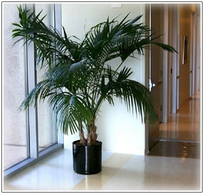 Ordinaire Kentia Palm