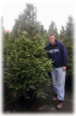 8' and 9' Planted Christmas Tree